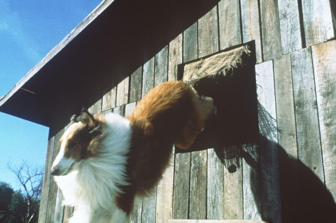 Weil einem unliebsamen Nachbarn die Schafzucht der Turners ein Dorn im Auge ist, muss Lassie tapfer ihre Familie gegen diesen Fiesling verteidigen ... - Bildquelle: Paramount Pictures