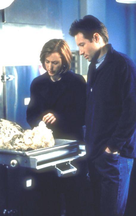 Mulder (David Duchovny, r.) und Scully (Gillian Anderson) begutachten die Skelette zweier Wanderer, die eigentlich noch gar nicht verwest sein dürft... - Bildquelle: TM +   2000 Twentieth Century Fox Film Corporation. All Rights Reserved.