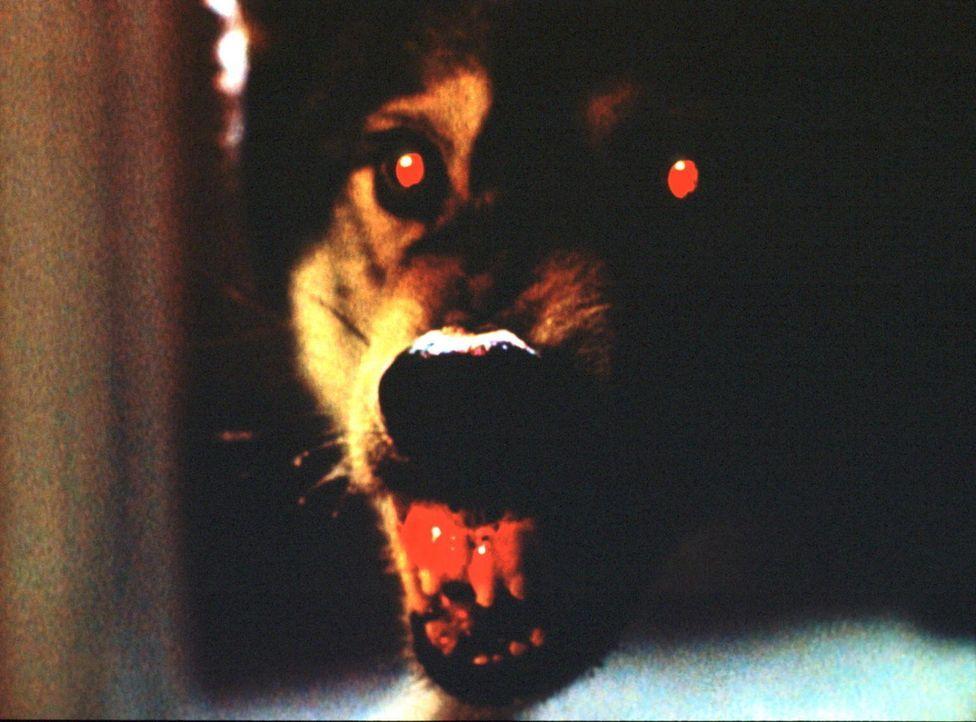 Dieser Wanshang Dhole, eine eigentlich ausgestorbene asiatische Hunderasse, soll in Kalifornien mehrere Menschen getötet haben. - Bildquelle: TM +   2000 Twentieth Century Fox Film Corporation. All Rights Reserved.