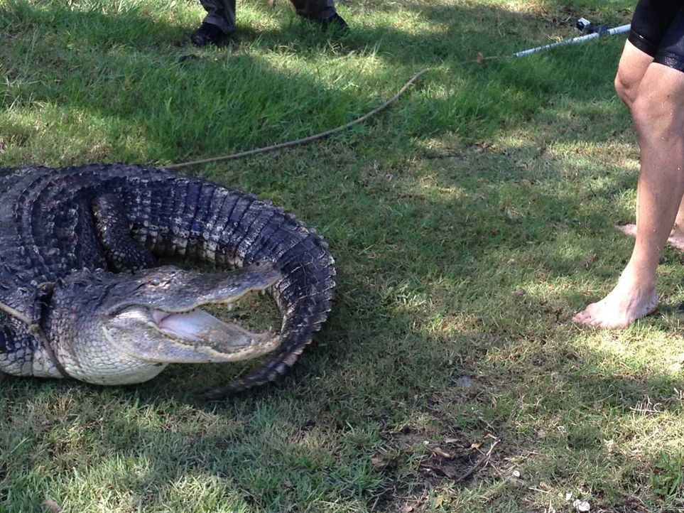 (2. Staffel) - Wenn sich in Florida ein Alligator in den privaten Pool oder das Schlafzimmer verirrt, sind die Gator Boys Jimmy und Paul zur Stelle. - Bildquelle: 2011 Discovery Communications