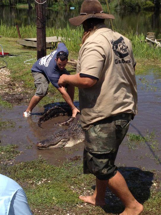 (2. Staffel) - Gator Boy Jimmy Riffle (r.) und sein Team fangen die Krokodile mit bloßen Händen und bringen sie wieder in ihren natürlichen Lebensra... - Bildquelle: 2011 Discovery Communications