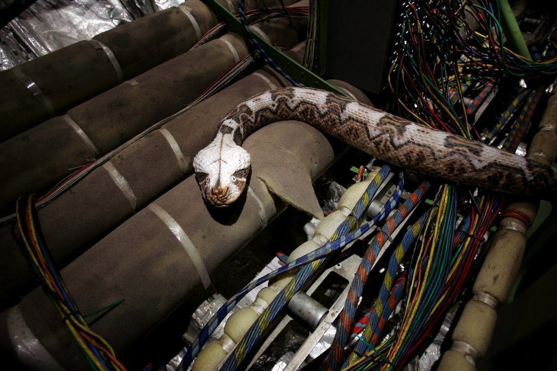 Snakes on a Plane: Ein brutaler Auftragskiller lässt an Bord eines Passagierflugzeugs Hunderte von tödlichen Schlangen frei, um einen Kronzeugen, de... - Bildquelle: Warner Brothers