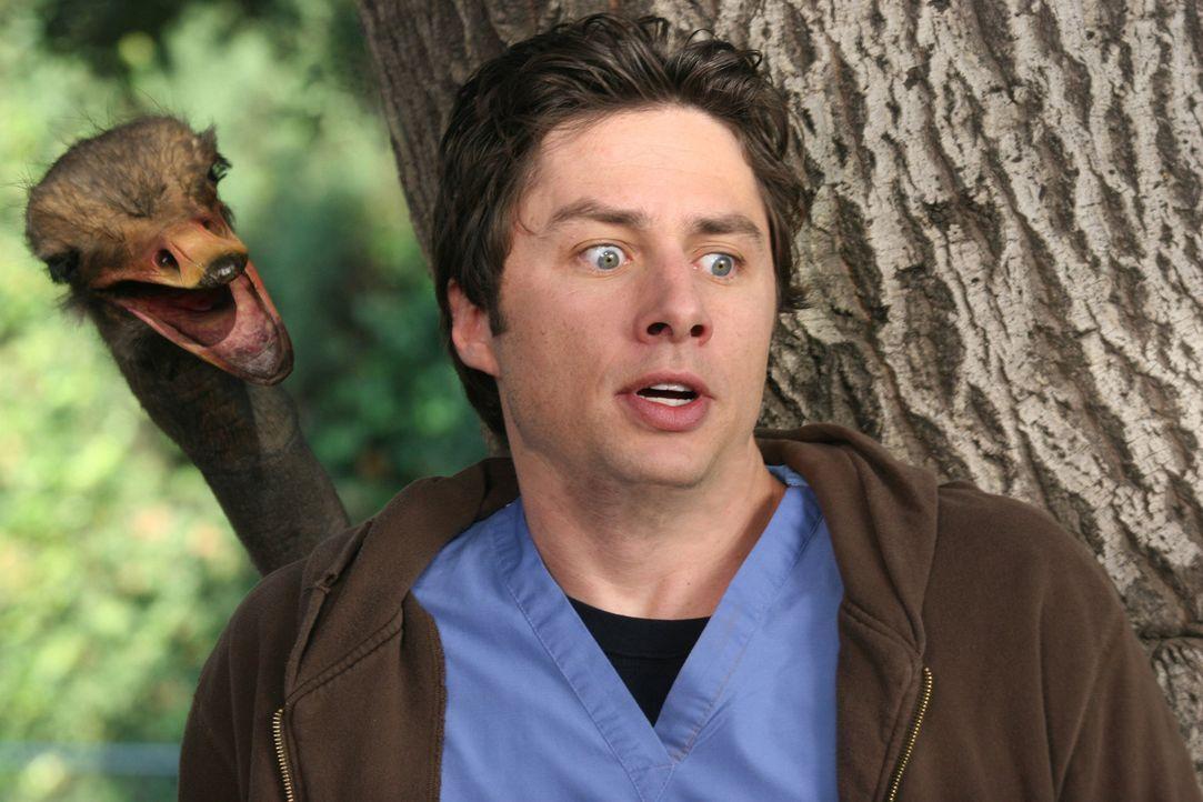 Da Mr. Sutton in seinem garten Strauße züchtet, wird der Ausflug von J.D. (Zach Braff) und Turk  ein echtes Abenteuer ... - Bildquelle: Touchstone Television
