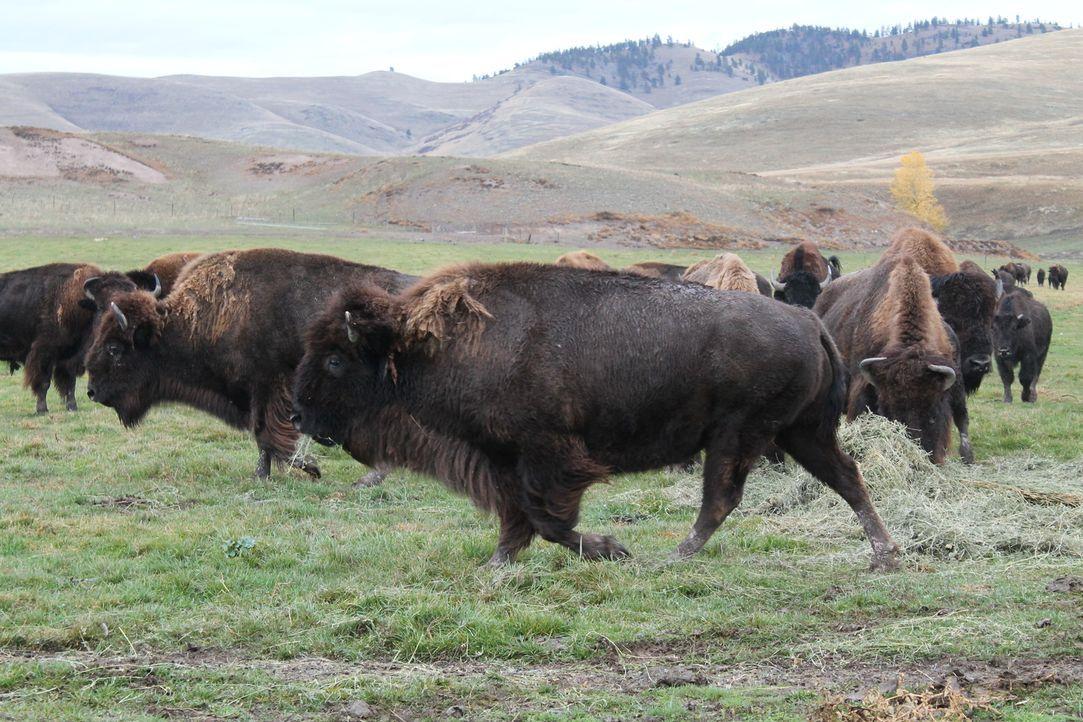 Jon und Etta Smith erfüllen sich ihren ganz persönlichen Haustraum: Eine Bison-Ranch in einer der abgelegensten Ecken des nordwestlichen Montana ... - Bildquelle: 2016,DIY Network/Scripps Networks, LLC. All Rights Reserved