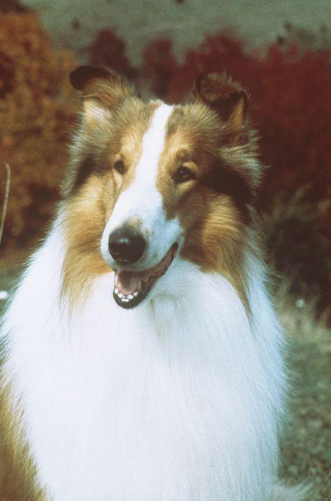 Eines Tages läuft Matt die zutrauliche Hündin Lassie zu. Schon bald erweist sich Lassie als wahrer  Freund ... - Bildquelle: Paramount Pictures