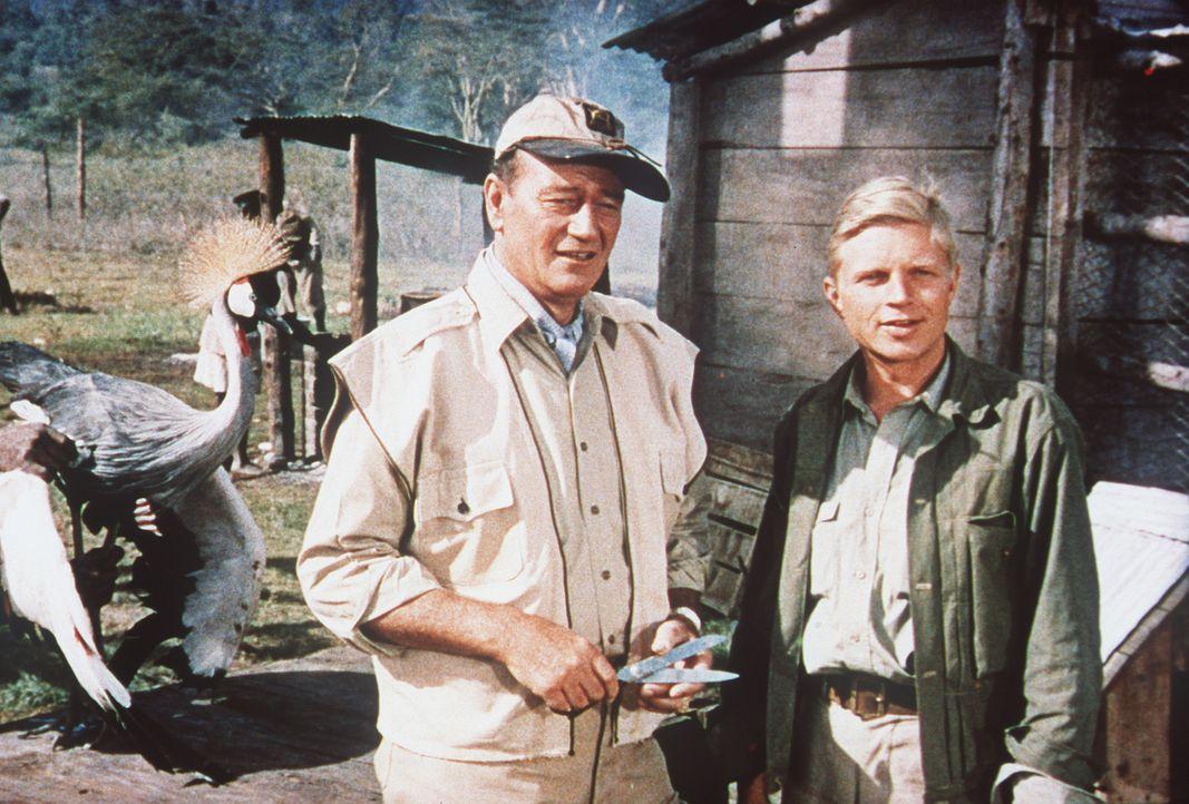 Der Amerikaner Sean Mercer (John Wayne, l.), der nach einer unglücklich verlaufenen Liebesaffäre in den Busch kam, und Kurt Stahl (Hardy Krüger, r.)... - Bildquelle: Paramount Pictures
