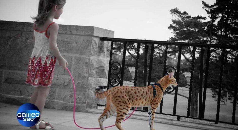 Galileo 360 Video Die Savannah Katzen Prosieben Maxx